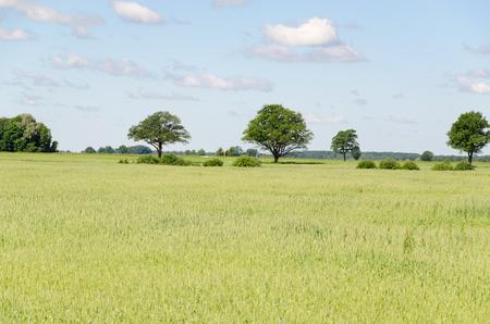 panoramic view of green rye field and tree in horizon