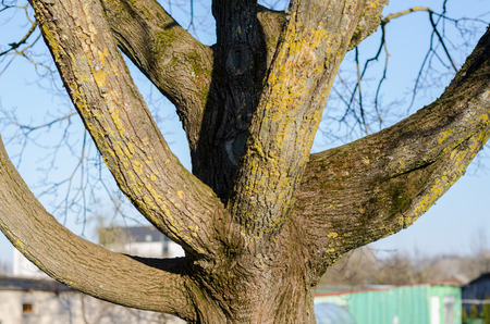 close up of thick branched tree trunk  Stock Photo