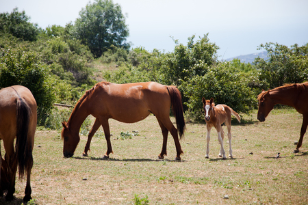 wasatch: large and small horses grazing in field in mountains in Crimea Stock Photo