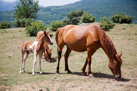 clydesdale: large and small horses grazing in field in mountains in Crimea Stock Photo