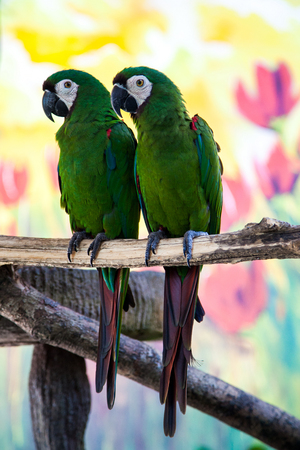 loros verdes: Two cute green parrots feeding each other