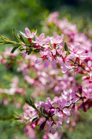 ornamental shrub: pink blooming ornamental shrub Almonds Low ,Amygdalus nana, closeup, local focus, shallow DOF