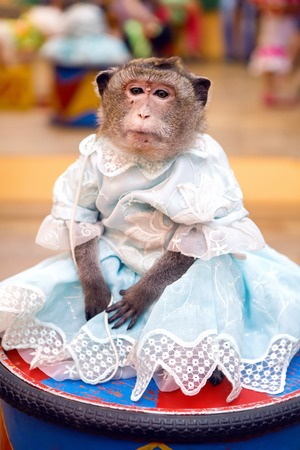 marmoset: young marmoset monkey in a blue dress sits on the curb during the presentation