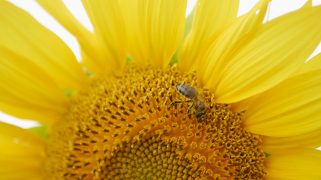 bee collects pollen on sunflower to create honey