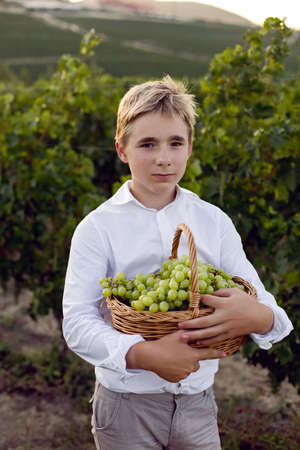 teenage schoolboy boy in a white shirt stands in a vineyard at sunset and holds a basket of green grapes