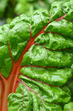 health conscious: An outdoors close up color shot of an unpicked swiss chard leaf after a spring rain.