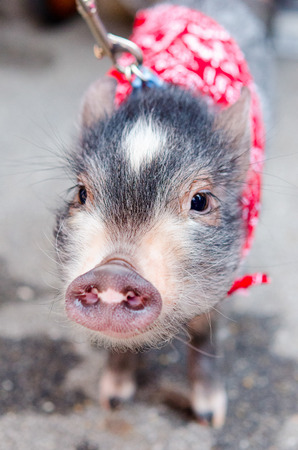 pet leash: Young Baby Pet Pig On A Leash