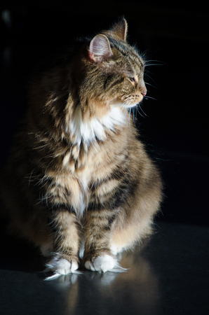 calico cat: A full body shot of a small male calico cat in profile in the sun against a dark background