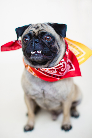 pampered: An indoor vertical full body portrait of a male pug dog with an adorable under bite, wearing a bandanna