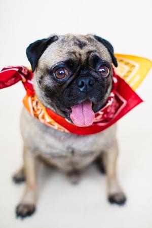 fullbody: An indoor vertical full body portrait of a male pug dog wearing a bandana