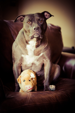 favorite colour: A vertical portrait of an adult female pit bull terrier sitting on a leather couch at home with her favorite plush toy