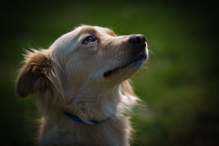 sitting dog: A close up back lit shot of the head and shoulders of a serene looking small female collie mix