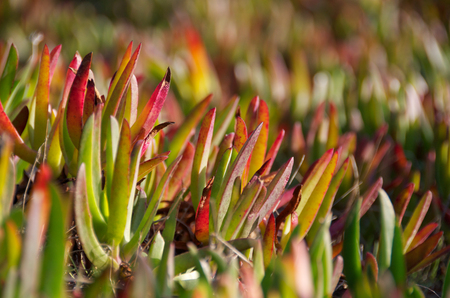 invasive plant: A detail shot of invasive ice plants at Fort Funston, California Stock Photo