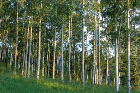 aspen grove: A wide landscape shot of a grove of Aspen trees at sunset in Telluride, Colorado Stock Photo