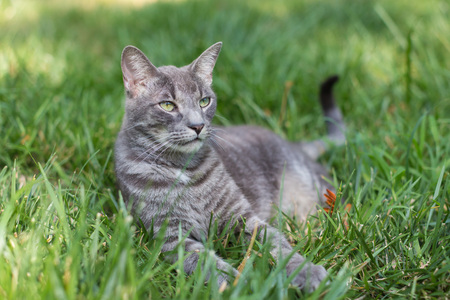 lounging: A close-up of an adult gray striped cat lounging outdoors in grass