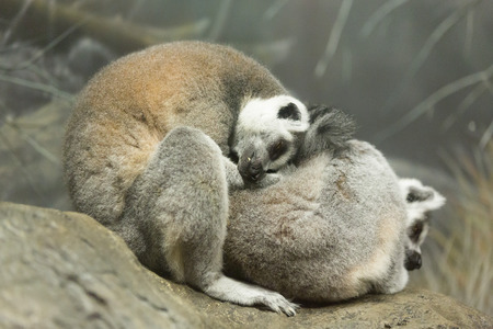 cuddled: A close-up of two sleeping lemurs cuddled together at the Kansas City Zoo Stock Photo
