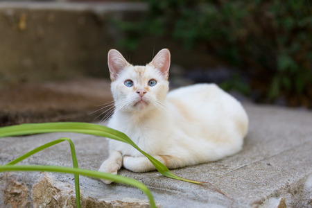 siamese: White Adult Siamese Mix Cat Lounging Outdoors Stock Photo