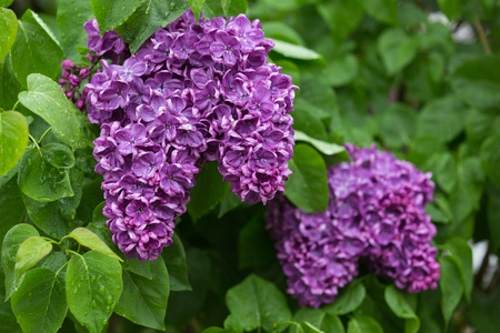 yankee: A close-up shot of clusters of Yankee Doodle french lilacs after rain