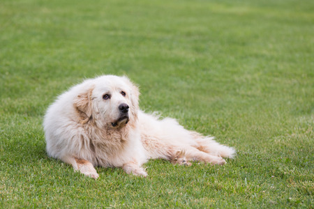 great pyrenees: A senior female Great Pyrenees dog lounging outdoors in grass