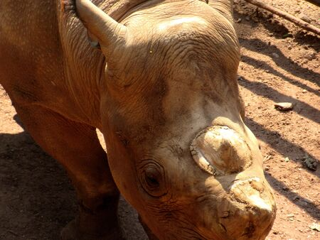 The Two Horned Rhino rhinoceros endangered species in National park