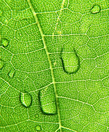 grape leaves with dew photo