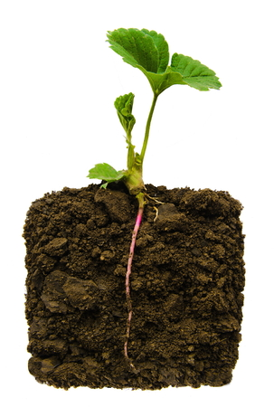 young plant with exposed roots in soil photo