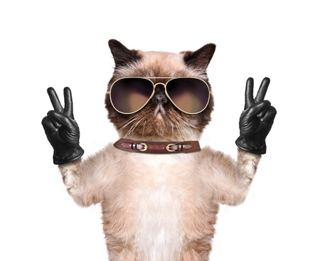 Cat with peace fingers in black leather. Isolated on white.