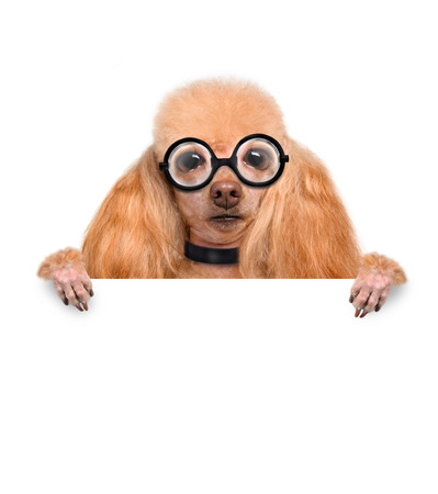 animal idiot: crazy silly dog with funny glasses behind blank placard