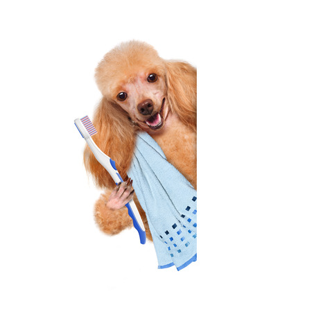 Brushing teeth dog. For white banner.