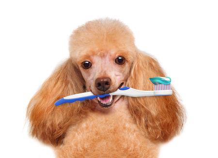 brushing teeth dog Archivio Fotografico
