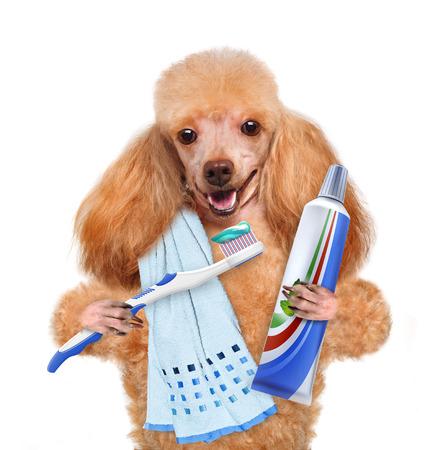brushing teeth dog Standard-Bild
