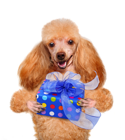 pet new years new year pup: Dog with gift box