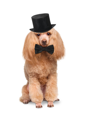 englishman: Dog with a black hat