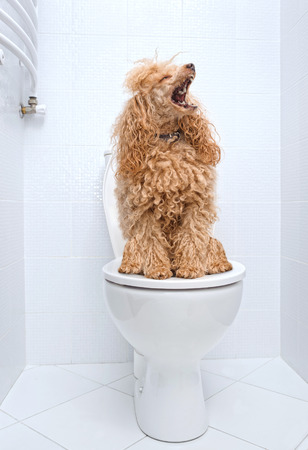 poo: Dog sitting on toilet at home.