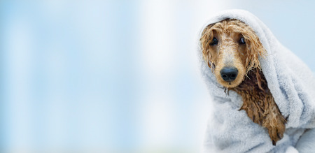 プードル犬をウェット タオルでお風呂の後。