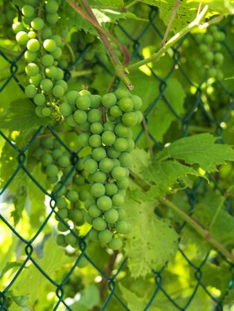 Unripe green grape bunches mid summer on fence Stock Photo - 3561147