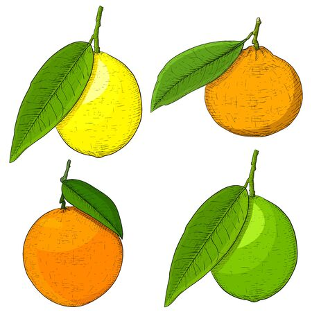 Citrus fruits. Colored hand drawn sketch