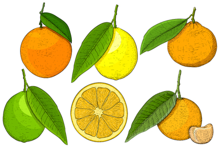 Citrus fruits. Hand drawn sketch. Vector illustration isolated on white background Illustration