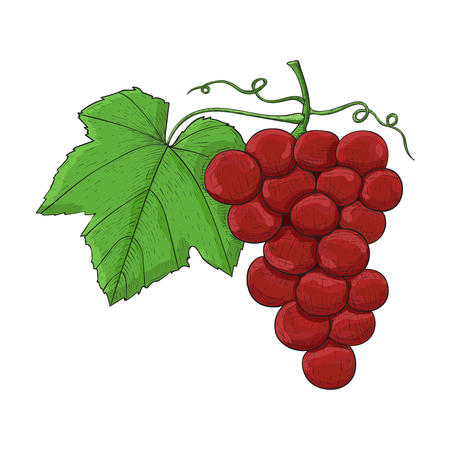 Grapes. Colored hand drawn sketch. Vector illustration isolated on white background