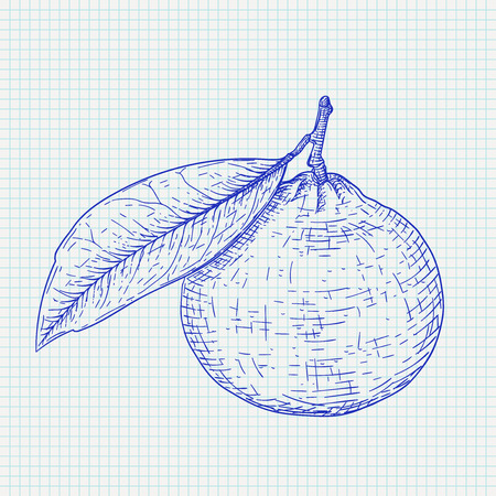Mandarin orange with leaf. Blue hand drawn sketch on lined paper background. Vector illustration
