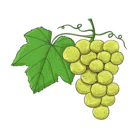 Grapes. Colored hand drawn sketch Illustration