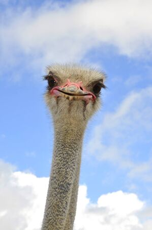 Ostrich male Imagens