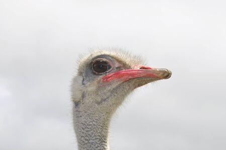 Ostrich male, exotic african bird