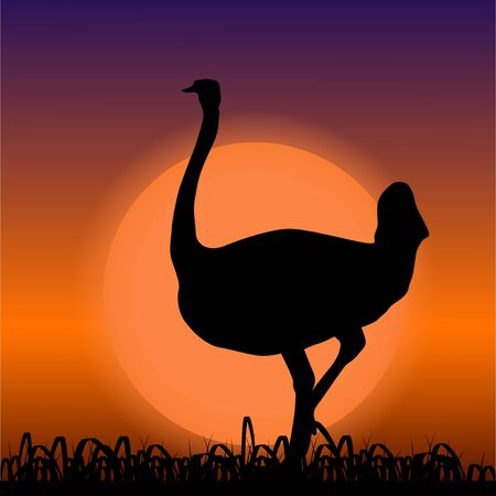 Ostrich in Africa. Black silhouette on sunset background