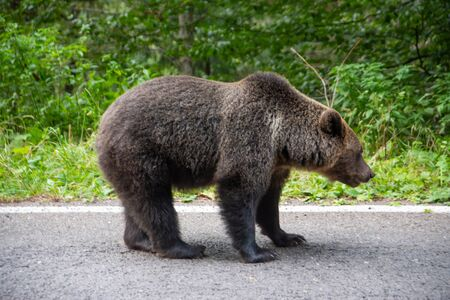 Brown bear standing on a road. Wild animal on road.