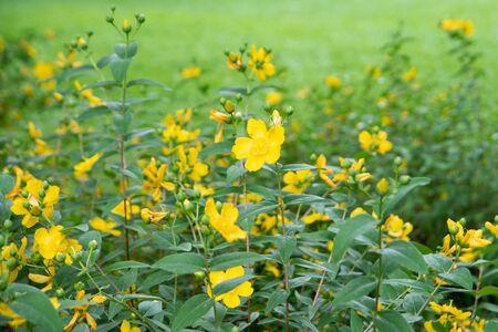 Yellow flowers on green meadow. Summer landscape