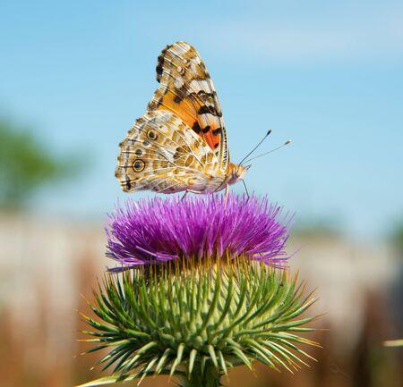 Beautiful summer butterfly sitting on a purple flower.