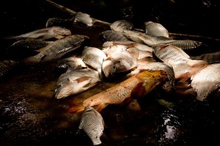 mango fish:  fresh-water fish Stock Photo