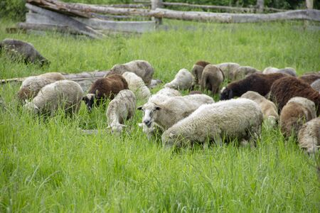 Lambs eat grass in the meadow. Lambs pasture. sheep in the countryside walk.