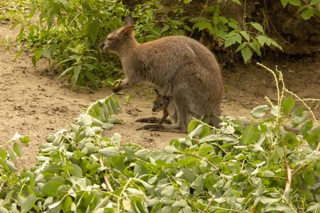 Kangaroo with baby in the zoo. Kangaroo is in captivity. Animals locked, in a cage.